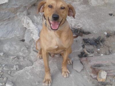 Domuz çul av köpeği