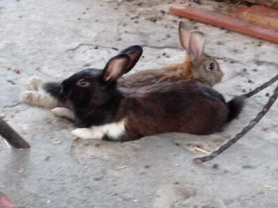 Yerli tavşan 10 adet ücretsiz