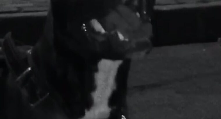 5 Aylık American Staffordshire Terrier