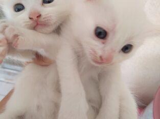 British ve Ankara kedisi kırması kızım ve bebekler İzmir Kedi Sahiplenme-Kedi Sahiplenme İzmir