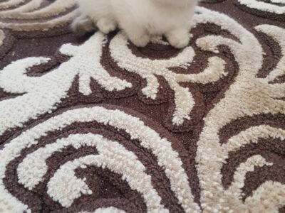 1.5 Aylık Scottish Fold ve British Shorthair Yavru