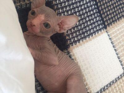 yavru sfenks kedisi
