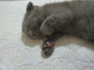 Dünyalar güzeli scotish fold cinsi oğlumuz :) Ankara Kedi Sahiplenme