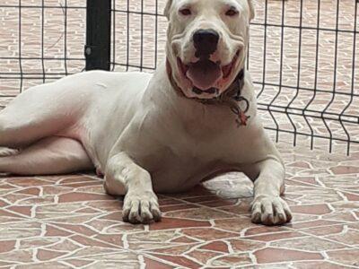 DOGO ARGENTINO BEYAZ MELEKLER