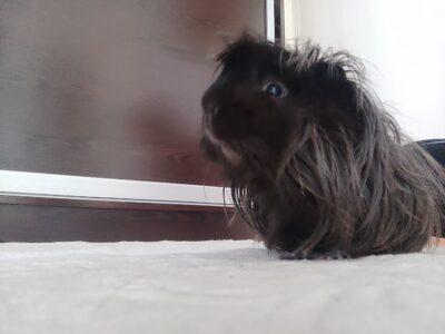 Evcil Guinea pig