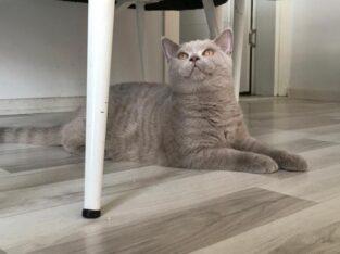 Safkan show kalitede lilac kediler