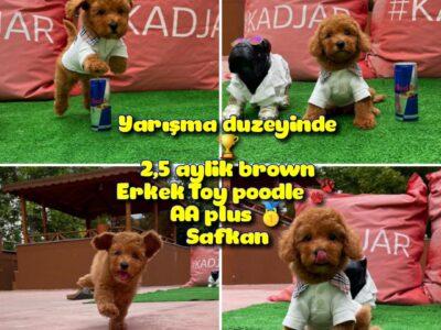 Orjinal Renk Safkan Red Brown Toy Poodle Ödüle Ada