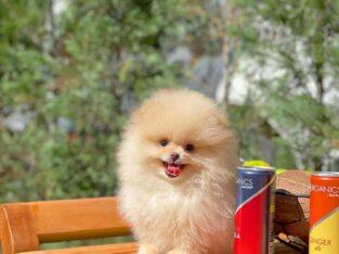 0,40 Mikro Küt Burun Teddyface Ödül Adayı Boo