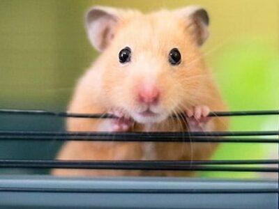 Hamster Yavrusu Şanlıurfa
