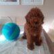 Red Brown Erkek Poodle
