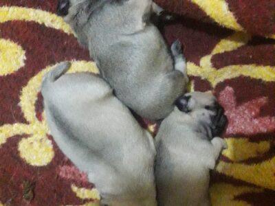 En orijinal pug bebekler