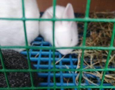 Kırmızı göz yenizellanda tavşan yavruları