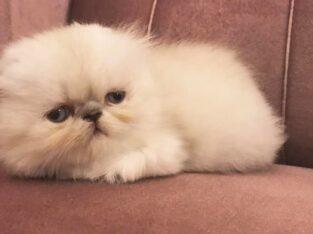 Anne Altından Dişi Yavru Exotic Kedi