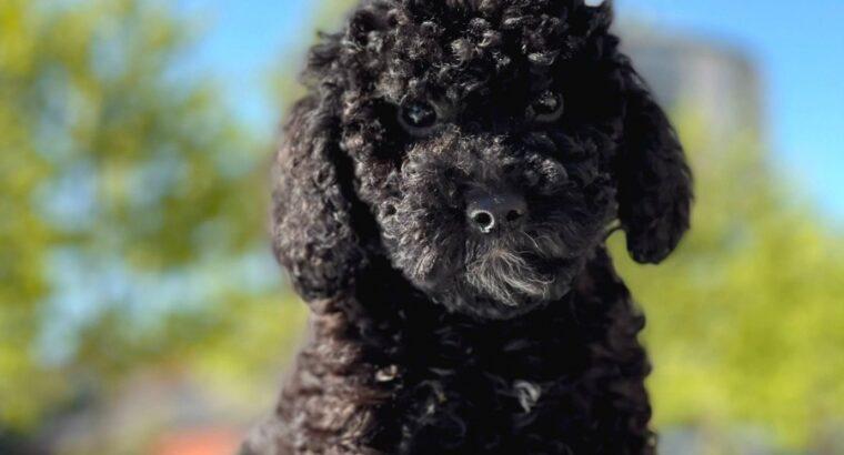 A kalite poodle 2 aylık