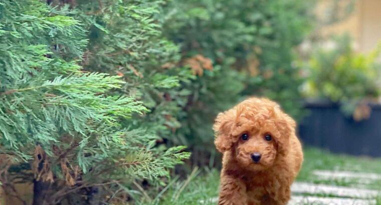 Aa kalite toy poodle yavrularımız