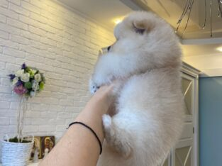 Pomeranian Boo Sütlaç (3 Aylık)